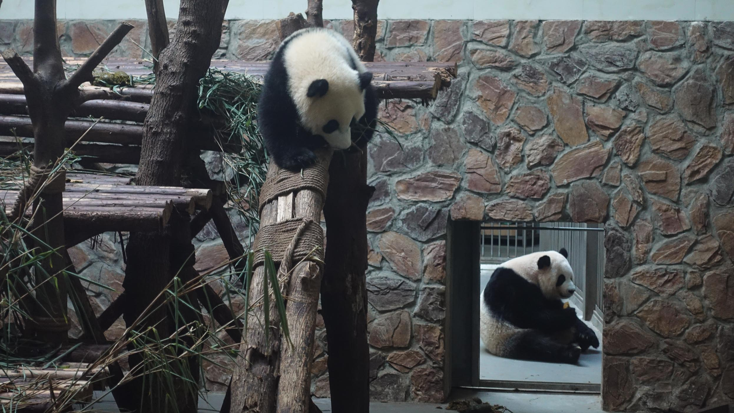 Pandas getting ready to eat
